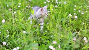 Peu Gray Kitten Play espiègle et course sur une herbe verte clips vidéos