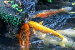 Peu la carpe colorée de Koi sous la cascade attrapant et mangeant worms images libres de droits