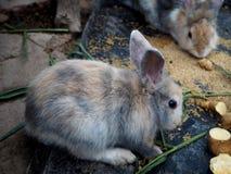 Peu lapins mangeant des pommes de terre dans la ferme image libre de droits