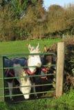 Peu les ânes minuscules d'âne tout a enveloppé chaud dans des manteaux images libres de droits