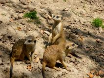 Peu Meerkats regardant autour photos stock