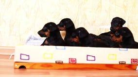 Peu mensonge de race de dobermann de chiots dans le panier ensemble Beaucoup de jeunes chiens clips vidéos