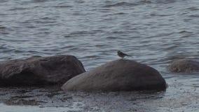 Peu oiseau sur des pierres dans le golfe de Finlande banque de vidéos