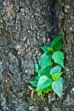 Peu pipal sur le vieux grand arbre Photo stock