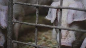 Peu porcelets à la ferme de porc Les porcs dans la grange, se précipitant de l'un côté à l'autre banque de vidéos