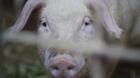 Peu porcin avec l'intérêt, regardant la caméra, plan rapproché Peu porcelets à la ferme de porc clips vidéos
