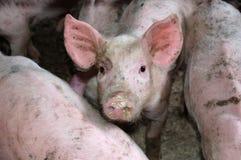 Peu porcin dans la grange Images libres de droits