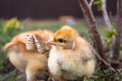 Peu poulet, poulets jaunes sur l'herbe Élevage de petits poulets Aviculture images libres de droits