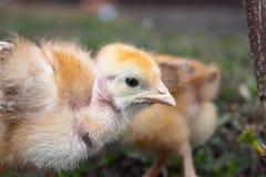 Peu poulet, poulets jaunes sur l'herbe Élevage de petits poulets Aviculture image stock