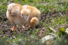 Peu poulet, poulets jaunes sur l'herbe Élevage de petits poulets Aviculture photo libre de droits
