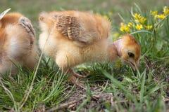 Peu poulet, poulets jaunes sur l'herbe ?levage de petits poulets Aviculture images libres de droits