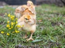 Peu poulet, poulets jaunes sur l'herbe ?levage de petits poulets Aviculture photos libres de droits