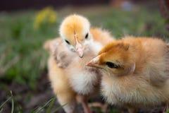 Peu poulet, poulets jaunes sur l'herbe ?levage de petits poulets Aviculture photographie stock