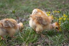Peu poulet, poulets jaunes sur l'herbe ?levage de petits poulets Aviculture images stock