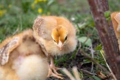 Peu poulet, poulets jaunes sur l'herbe ?levage de petits poulets Aviculture photo stock
