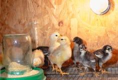 Peu poulets dans une couveuse ? la ferme images stock