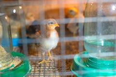 Peu poulets dans une couveuse ? la ferme images libres de droits