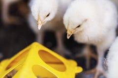 Peu poulets près des conducteurs avec la nourriture photos stock