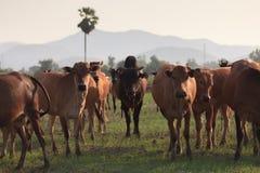 Peu profond du foyer aux vaches sur un champ Image stock