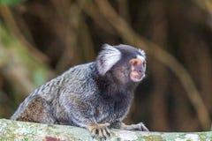 Peu singe populairement connu sous le nom de Sagittaire Blanc-coup? la queue, jacchus de Callithrix, en ?Bosque parc du DA Barra  photo stock