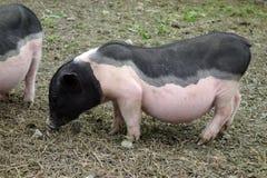 Peu un porcin Images libres de droits