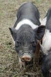 Peu un porcin Photo libre de droits