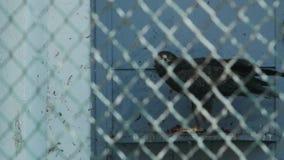 Peu viande repérée de larmes d'aigle dans un pomarina d'Aquila de cage clips vidéos