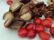Peul met zaad van tulpenboom royalty-vrije stock fotografie