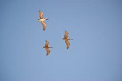 Peul van 3 Bruine Pelikanen (1) Royalty-vrije Stock Afbeeldingen