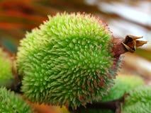 Peul van bloem ?Indische canna? royalty-vrije stock foto