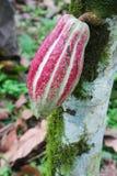 Peul van cacao Arriba op een boom in Ecuador Royalty-vrije Stock Foto