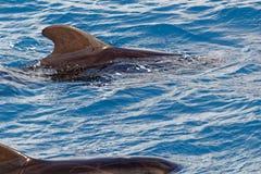 Peul van Korte finned proefwalvis van kust van Tenerife, Spanje Stock Afbeelding