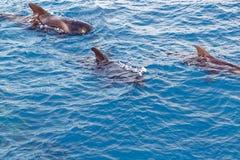 Peul van Korte finned proefwalvis van kust van Tenerife, Spanje Stock Afbeeldingen