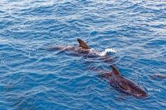 Peul van Korte finned proefwalvis van kust van Tenerife, Spanje Stock Foto's