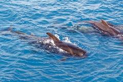 Peul van Korte finned proefwalvis van kust van Tenerife, Spanje Royalty-vrije Stock Afbeeldingen