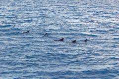 Peul van Korte finned proefwalvis van kust van Tenerife, Spanje Royalty-vrije Stock Afbeelding