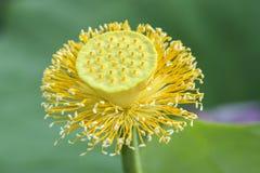 Peul van Lotus Flower royalty-vrije stock afbeelding