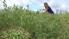 Peulen van de oogst de rijpe erwten van het bedrijfsmedewerkermeisje aan rieten mand 4K stock videobeelden