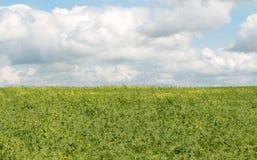 Peulen van groene erwten Royalty-vrije Stock Foto's