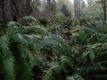 Peuplement vieux Forest Near Seattle photos libres de droits