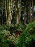 Peuplement vieux Forest Near Seattle photographie stock libre de droits