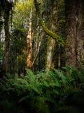 Peuplement vieux Forest Near Seattle photographie stock