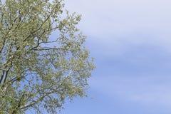 Peuplier argenté contre le ciel Bourgeons et feuilles récemment fleuris de jeunes sur les branches, ressort Photo stock