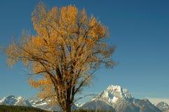 Peuplier et Mt Moran 1 Photo stock