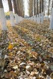 Peupliers en automne Photographie stock