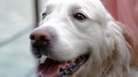 Pey de femme son Labrador clips vidéos