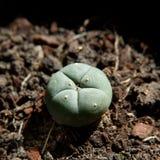 Peyote cactus Stock Image