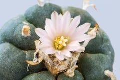 Peyote cactus with flower Royalty Free Stock Photo