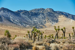 Peyote e montagna in parco nazionale, U.S.A. Immagine Stock Libera da Diritti