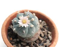 Peyote flower. Is on top plant Royalty Free Stock Photos